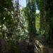 Áthatolhatatlan erdő a Nagytómalomnál
