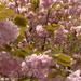 Díszcseresznye virág