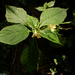 Kisvirágú nebáncsvirág (1)