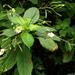 Kisvirágú nebáncsvirág (2)