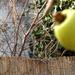 Gombóc Artúr és az alma