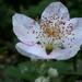Tüskés földiszeder virága