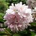 Virágzó gyöngyvirág cserje