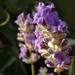Virágzó levendula
