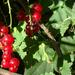 Piros termés