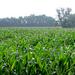 Kukoricáznak