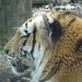 Tigrisprofil