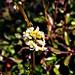 Piciny virág