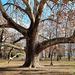 Margitszigeti fák