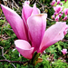 Virágszirom lila