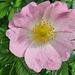 Lillafüredi virágszirom
