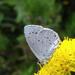 Kék boglárka lepke