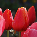 Gyűjtemény - Tulipanok