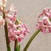 jácint - 2012 tavasz a télben