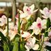 Album - Orchidea kiállítás 2013 Klosterneuburg