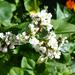 Osztrák mezei virágok otthon, SzG3