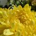 Novemberi virágok az otthoni kertünkben, reggeli harmat, SzG3