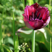 Album - Elhagyatott tulipán ültetvény