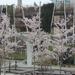 Cseresznyés Millenáris