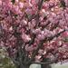 Album - Budai vár japán cseresznyével