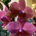 orchidea 136