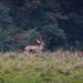 Charlecote deer-23