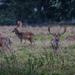 Charlecote deer-11