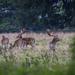 Charlecote deer-6