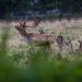 Charlecote deer-5