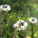 Nyilas ikravirág (Arabis sagittata)
