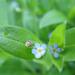 Lazavirágú nefelejcs (Myosotis sparsiflora)