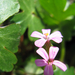 Csillogó gólyaorr Geranium lucidum