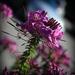 Virágládából