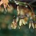 Ujjas juhar termése