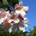 A nemtómmi neve: Kolkwitzia Amabilis