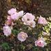 Rózsák a parkból