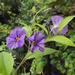 Enciánfa virága