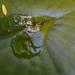 Tükröződés a tavirózsa levelén