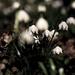 Album - Csáfordjánosfa - Tőzike tanösvény (leucojum vernum)