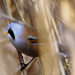 DSC 0791 d300 barkós cinege xyxyxyxyxyxyxyxy 2