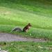 Kanadai mókus