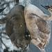 új rendszertani besorolás (kaffer) a hattyú