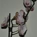 orchidea 13