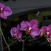orchidea 19