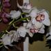 orchidea 20
