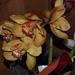 orchidea 21