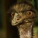 Emu portré