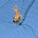 Foltos nádiposzáta a hálóban