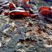 12 Júdásfüle gombák