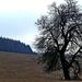 04 a legidősebb vadkörtefa